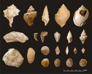 Commonly encountered species in the shell assemblages from Building CD and Building E (Photographs: R. Veropoulidou, Image processing: N. Valasiadis).